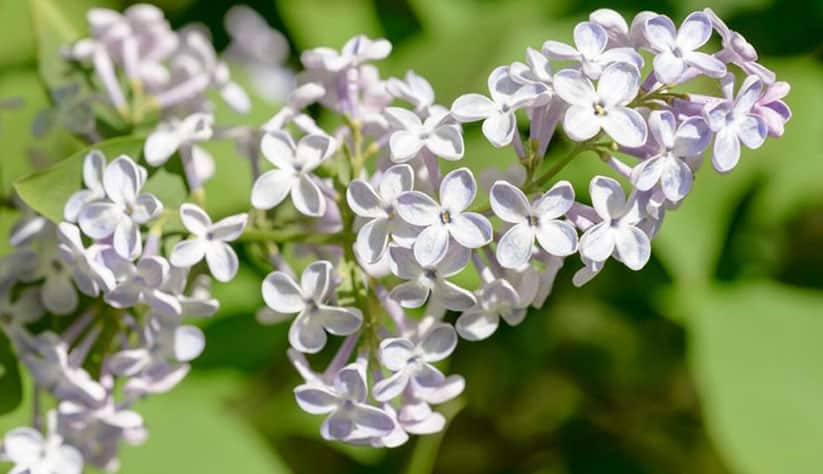 French lilac flowers